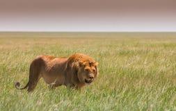 Большой молодой лев на африканской саванне Стоковые Фото