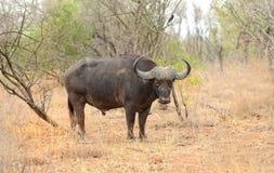Большой мужской буйвол накидки в национальном парке Kruger Стоковая Фотография RF