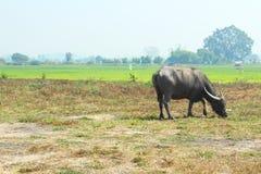 Большой мужской буйвол пася в горячем солнце лета Стоковое Изображение RF