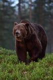 Большой мужской бурый медведь на ноче Стоковые Изображения