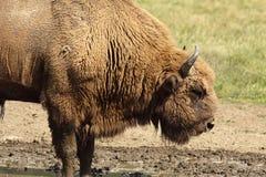 Большой мужской европейский бизон стоковое изображение