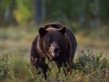 Большой мужской медведь Стоковое Фото