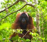 Большой мужской орангутан на дереве в одичалом Индонезия Остров Kalimantan Борнео стоковые фотографии rf