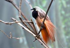 Большой мужчина райской птицы показывая красивое оперение Стоковые Фото