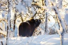 Большой мускус есть в снеге зимы на заходе солнца Стоковое Фото