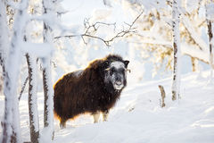 Большой мускус стоя в снеге зимы на заходе солнца Стоковая Фотография