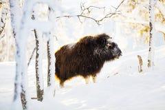Большой мускус стоя в снеге зимы на заходе солнца Стоковые Изображения RF