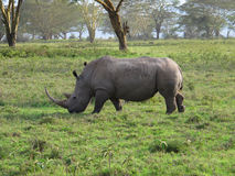 Большой носорог Стоковые Фотографии RF