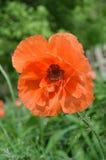 Большой оранжевый зацветать мака стоковое фото
