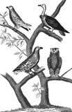 Большой орел Vautour милан Великий князь Стоковые Фото