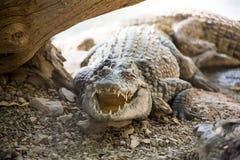 Большой острорылый крокодил Стоковое Изображение