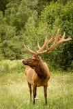 Большой лось быка стоя в поле с большими antlers полностью summ Стоковая Фотография