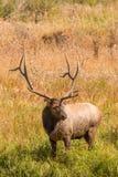 большой лось быка Стоковые Фотографии RF