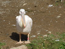 Большой отдыхать белого пеликана стоковые изображения