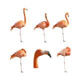 Большой отдыхать спать фламинго и стоять изолированный Стоковые Изображения RF