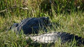 Большой оле аллигатор Флориды стоковые фото