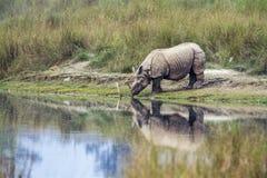 Большой Одн-horned носорог в национальном парке Bardia, Непале Стоковое Изображение RF