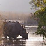 Большой Одн-horned носорог в Bardia, Непале Стоковые Фото