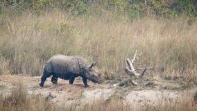 Большой Одн-horned носорог в Bardia, Непале Стоковое Фото