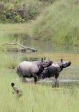 Большой Одн-horned носорог на национальном парке Bardia, Непале Стоковое фото RF