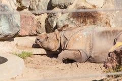 Большой Одн-horned носорог Стоковое фото RF
