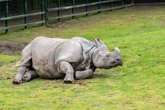 Большой Одн-horned носорог Стоковые Изображения