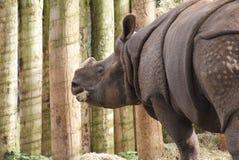 Большой Одн-horned носорог - unicornis носорога Стоковая Фотография RF