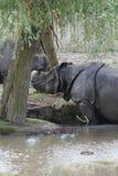 Большой Одн-horned носорог - unicornis носорога Стоковая Фотография