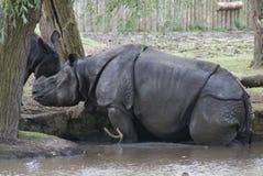 Большой Одн-horned носорог - unicornis носорога Стоковое Изображение RF
