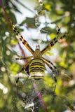 Большой паук оси в ее сети Стоковое Изображение RF
