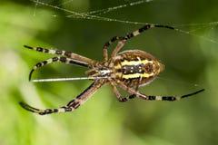 Большой паук оси в ее сети Стоковые Фотографии RF