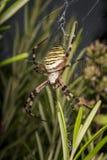 Большой паук оси в ее сети Стоковая Фотография RF