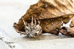 Большой паук шара на лист Стоковые Изображения RF