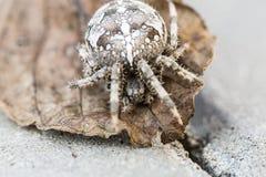 Большой паук шара на лист Стоковые Изображения