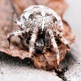 Большой паук шара на лист Стоковое Изображение RF
