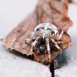 Большой паук шара на лист Стоковые Фото