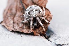 Большой паук шара на лист Стоковое Изображение