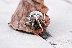 Большой паук шара на лист Стоковые Фотографии RF