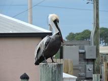 Большой пеликан на столбе Стоковое Фото