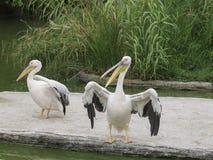 Большой пеликан & x28; Onocrotalus& x29 Pelecanus; Стоковые Изображения RF