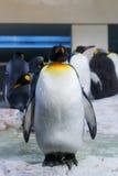 Большой пингвин аутсайдера Стоковая Фотография