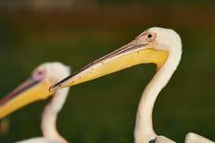 Большой портрет белого пеликана Стоковое Фото