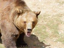 Большой портрет бурого медведя стоковые фото