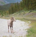 Большой портрет овец рожка в Banff Стоковое фото RF