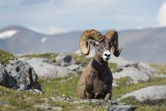 Большой портрет овец рожка пока смотрящ вас стоковая фотография