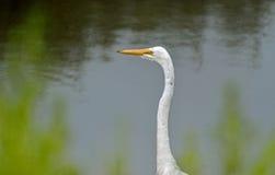 Большой портрет egret Стоковая Фотография
