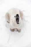 Большой полярный медведь в снеге, хищник взгляда, рык хищника Стоковые Фотографии RF