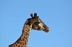 Большой профиль жирафа Стоковое Изображение RF