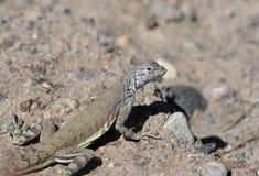 Большой профиль Earless ящерицы стоковое фото rf