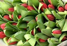 Большой пук красных бутонов тюльпана Стоковая Фотография
